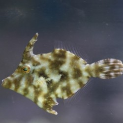 Aiptasia Eating Filefish /...