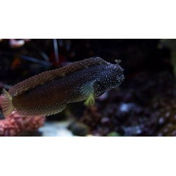 Starry Blenny / Salarias...