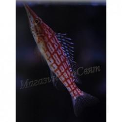 Howkfish / Oxycirrhites...