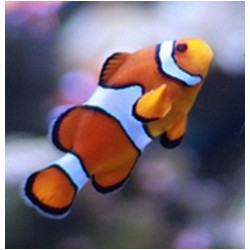 Clownfish  / Amphiprion...