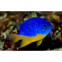 Дамсел / Damselfish /...