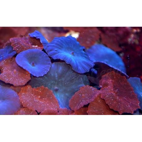 Синя дискозома / Mushroom / Discosoma Blue