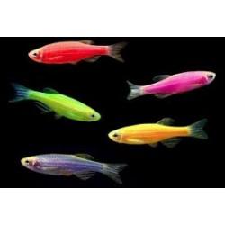 Danio  fluorescent color -...