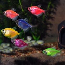 Цветна Тернеция - G. ternetzi