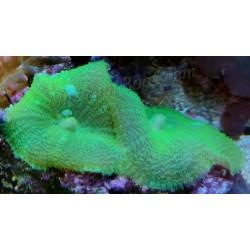 Green Rhodactis Mushroom -...